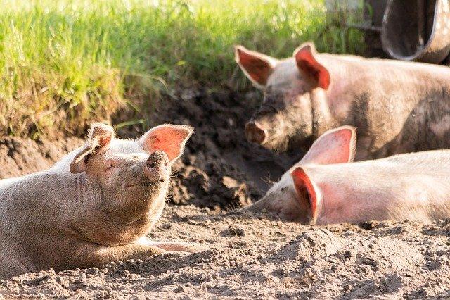 caudofagia cerdos